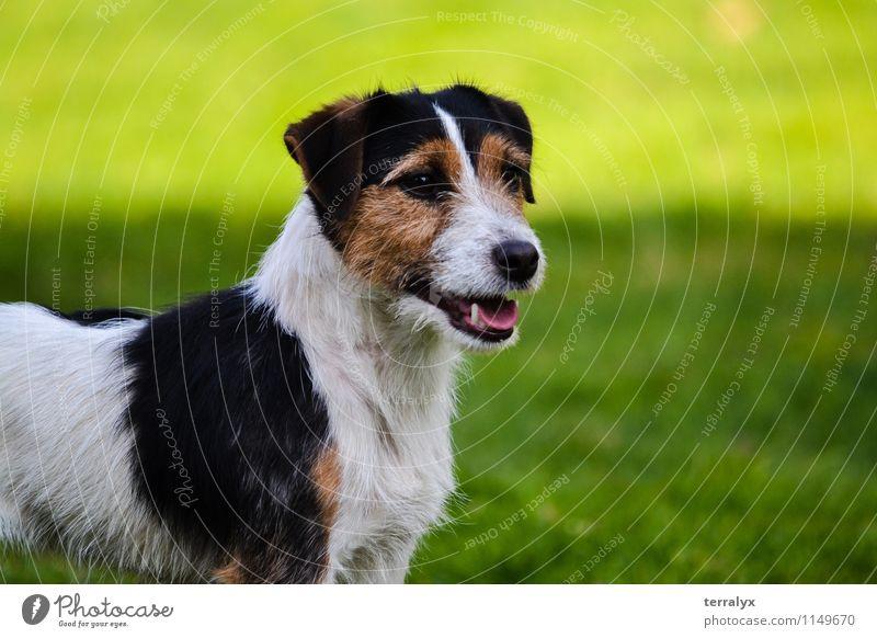 Jack Russell Terrier Dog Beautiful Green Summer Joy Animal Feminine Happy Stand Happiness Observe Cute Friendliness Curiosity Watchfulness Pet