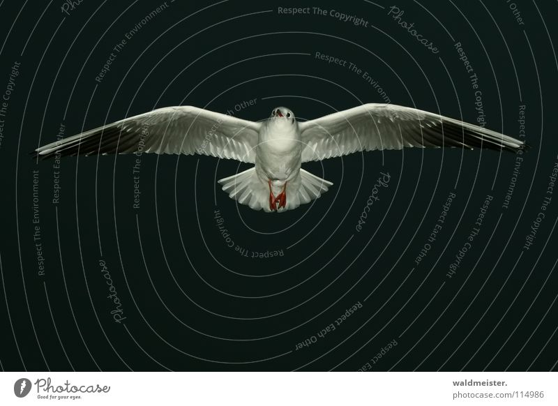 gliding Seagull Black-headed gull  Night Night shot Dark Bird Ocean Beach Sky Aviation Flying Wing Feather