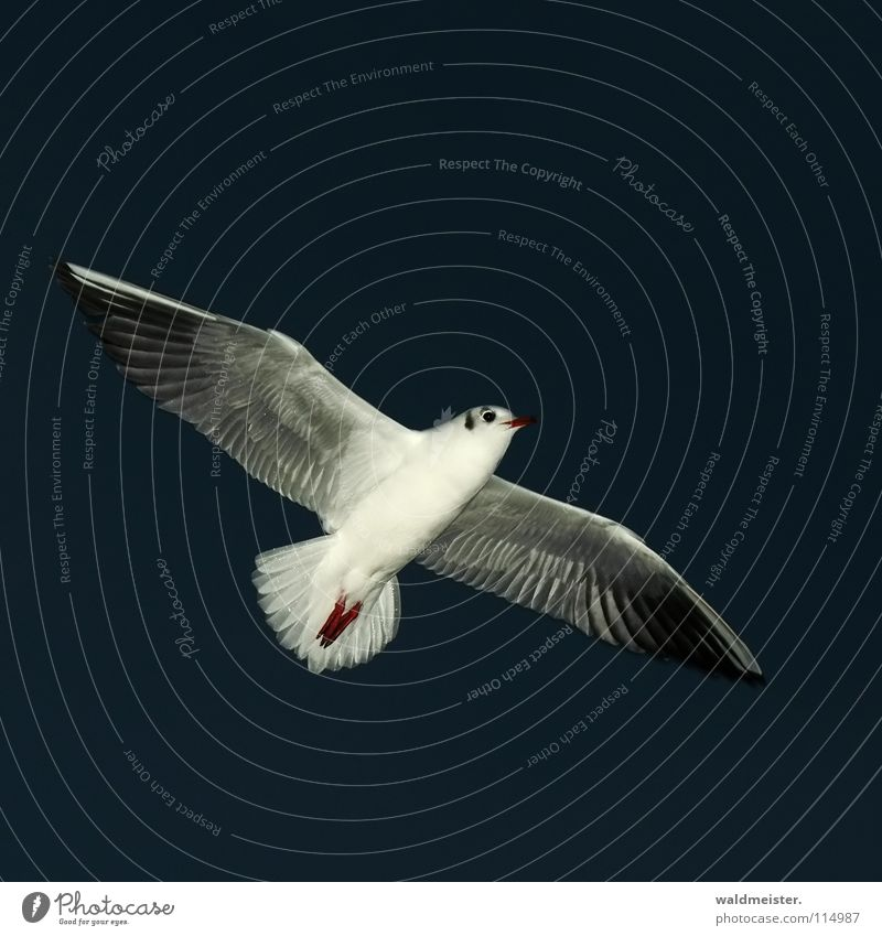night gull Seagull Black-headed gull  Night Night shot Dark Bird Ocean Beach Sky Aviation Flying Wing Feather