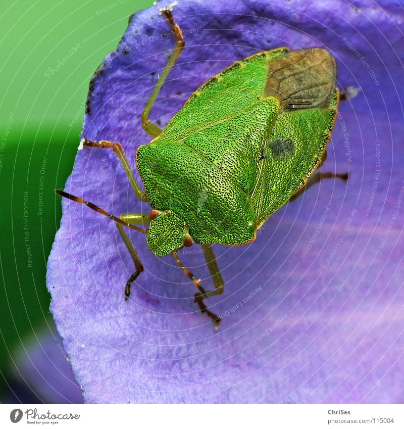 Green Blue Summer Leaf Animal Insect Odor Northern Forest Bug Shield bug Green shieldbug