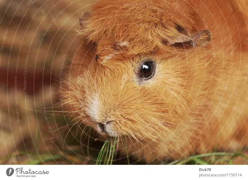 Guinea pig 'mal quer Nutrition Living or residing Animal Grass Blade of grass Garden Meadow Barn Pet Animal face Pelt Rodent 1 Observe To feed Crouch Looking
