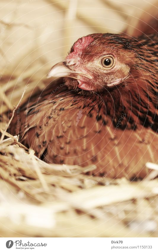 Silent breeder Food Egg Nutrition Organic produce Agriculture Forestry Intensive stock rearing Poultry farm Species-appropriate Free-range rearing Nature Straw