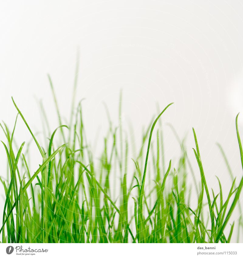 clean gras the third - space is luxury! Grass Blade of grass Knoll Grass green Tuft of grass Photosynthesis Bright background Copy Space top Close-up Organic