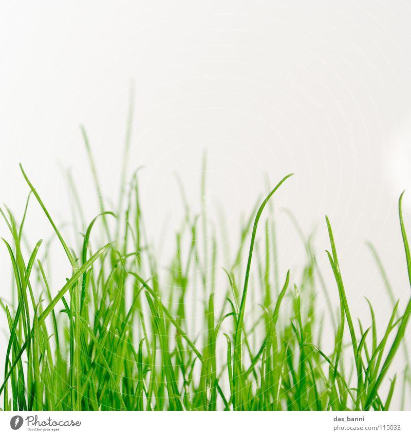 Grass Green Blade of grass Plant Verdant Knoll Photosynthesis Concepts &  Topics Organic Grass green Tuft of grass Bright background