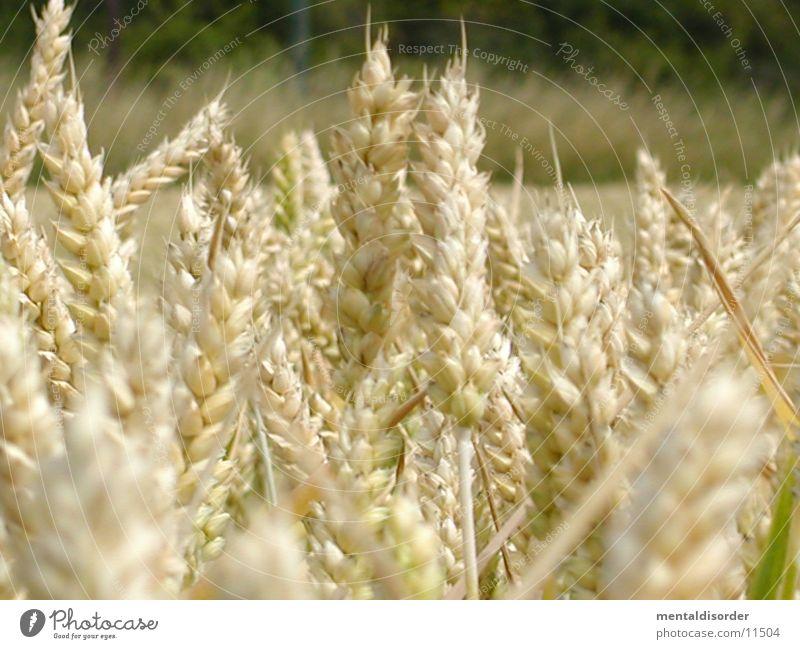 Field Grain Agriculture Harvest Ear of corn Flour