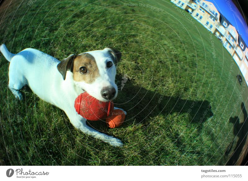 STRETCHED Dog Terrier Playing Meadow Grass Green White Brown Red Mammal Ball Shadow Fisheye Jack Russell terrier Looking into the camera Animal face