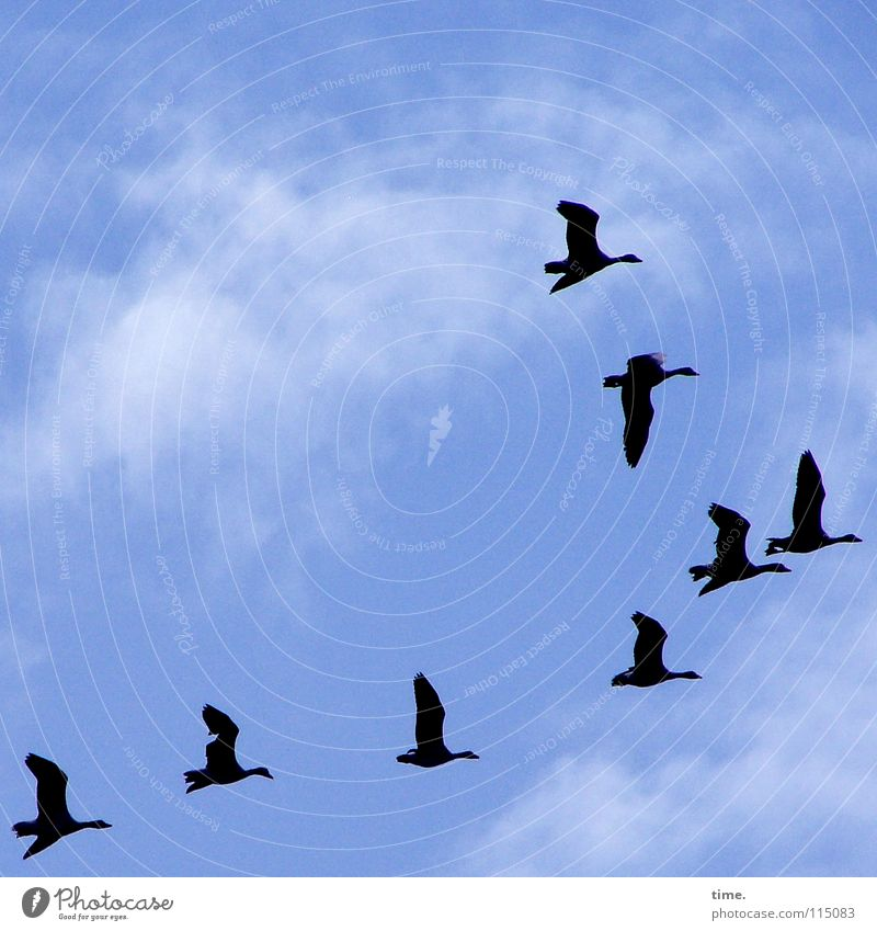 high achiever Sky Clouds Wild animal Bird Wing Goose Group of animals Flock Blue Esthetic Contentment Life Hover South Flock of birds 8 Puppy love lead animal