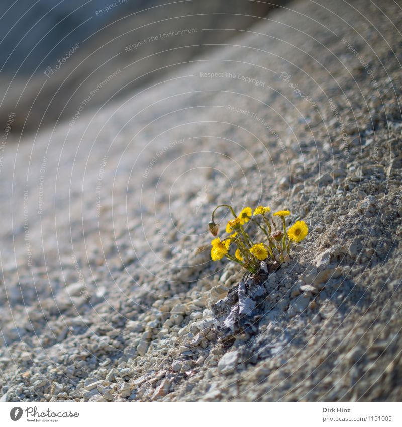 Nature Plant Flower Loneliness Landscape Environment Yellow Spring Blossom Coast Earth Climate Transience Uniqueness Hill Desert