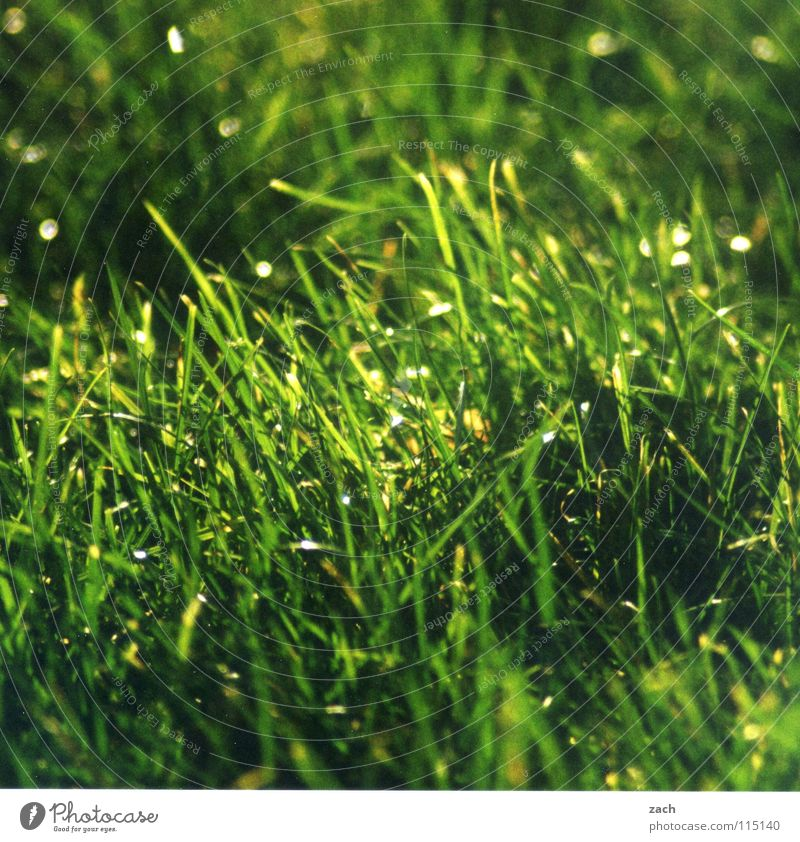 weedy Grass Stagger Green Movement Air Back draft Gust of wind Blade of grass Stalk Hissing Field Agriculture Meadow Drops of water Alpine pasture Wind squall