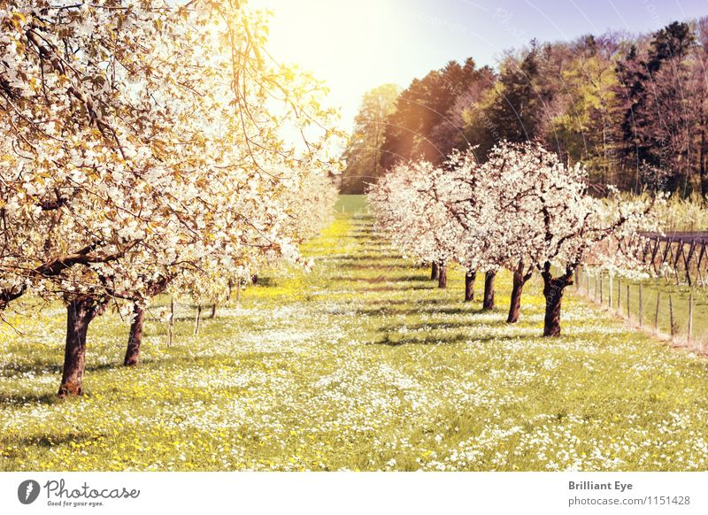 Fruit trees shine in a white spring dress Environment Nature Landscape Plant Sun Beautiful weather Warmth Tree Grass Agricultural crop Park Meadow Emotions