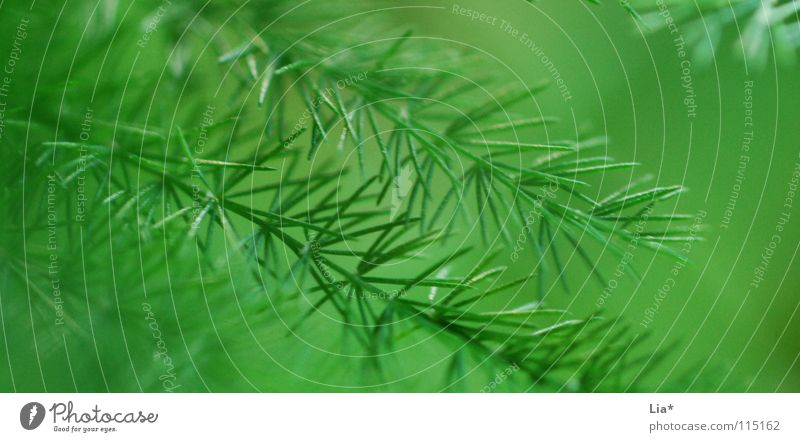 Nature Green Plant Background picture Bushes Fresh Soft Peace Delicate Christmas tree Fir tree Smooth Easy Noble Branchage Fine