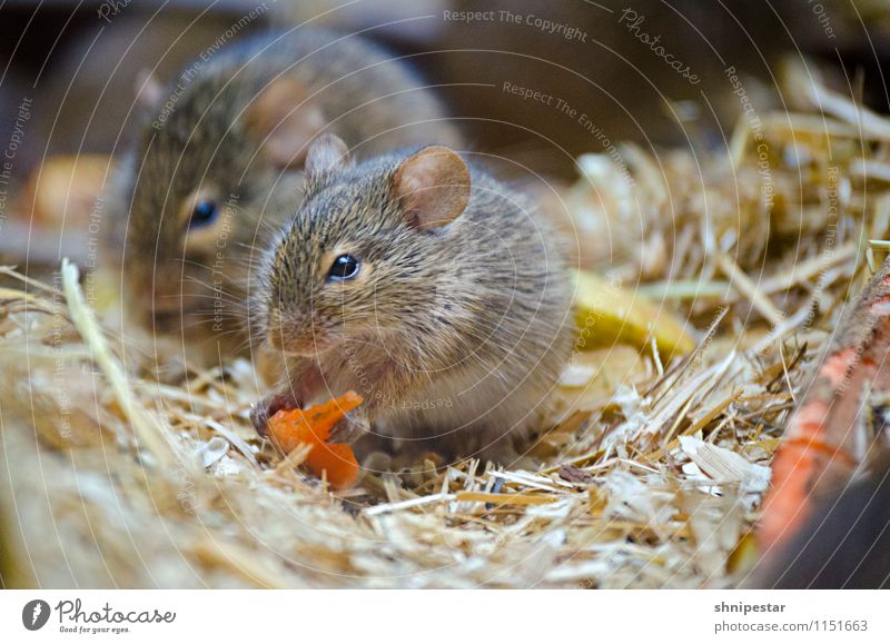 Carrots are good for the eyes Trip Nature Animal Berlin Germany Europe Animal face Pelt Paw Zoo Rodent Mouse Rat Zoo Berlin 2 Observe Eating To hold on To feed