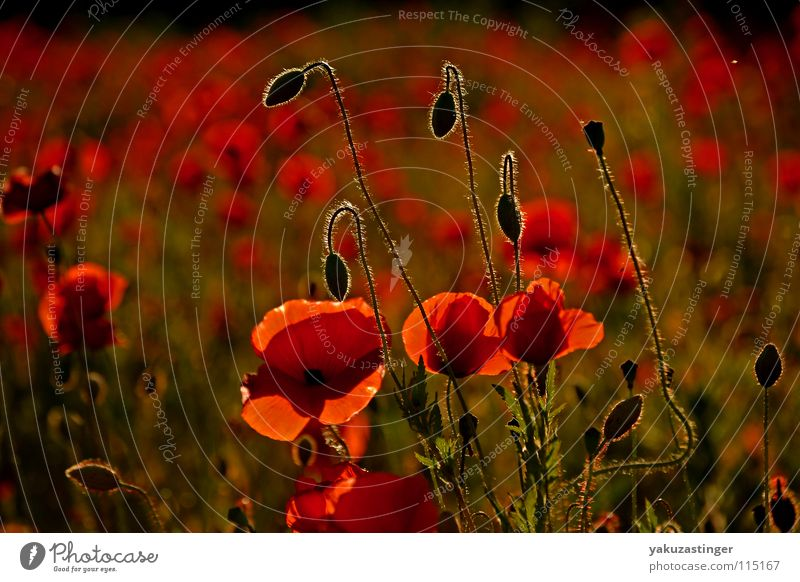 red miracle 2 Poppy Red Corn poppy Green Tiny hair Plant Field Animal Summer Thorn Medicinal plant Weed