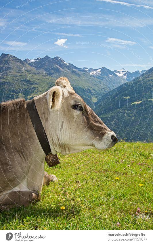 Alps cow Landscape Clouds Summer Beautiful weather Mountain Peak Snowcapped peak Glacier Animal Farm animal Cow Pelt 1 Relaxation To enjoy Lie Blue Brown