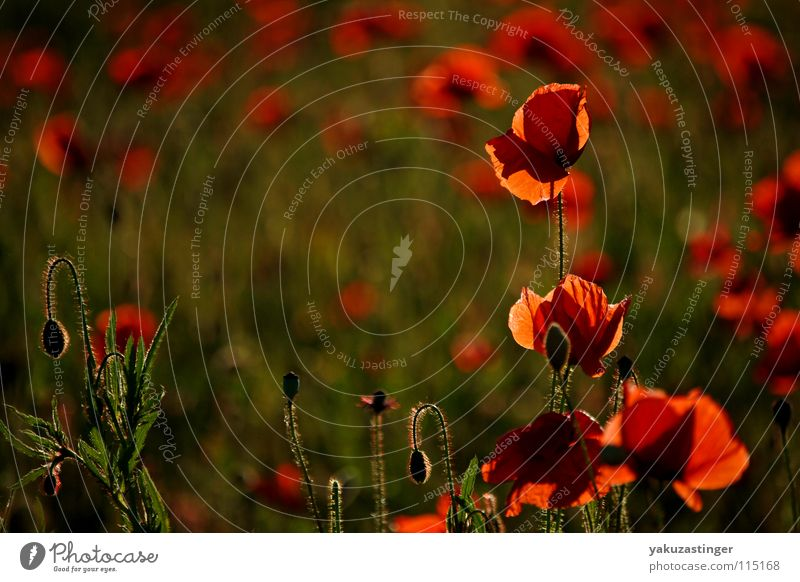 red miracle 3 Poppy Red Corn poppy Green Tiny hair Plant Field Summer Thorn flora and fauna Medicinal plant Weed