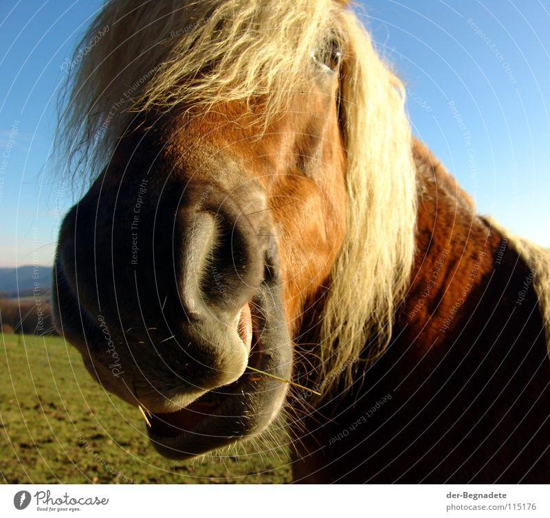 jolly jumper Horse Sauerland Mane Horse's head Nostrils Red Curiosity Encounter Elapse Odor Leisure and hobbies Joie de vivre (Vitality) Life Animal Pet Blonde