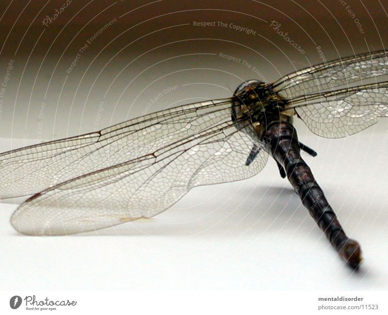 delicate wings Dragonfly Insect Wing Death Close-up