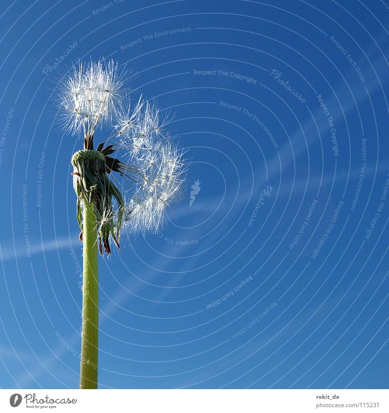 Blue Green Summer Flying Stalk Dandelion Blow Easy Ease Doomed Remainder Faded Jet Vapor trail