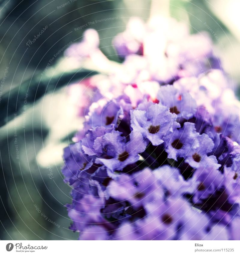 Nature Beautiful Flower Summer Emotions Blossom Spring Garden Small Bushes Soft Violet Delicate Exotic