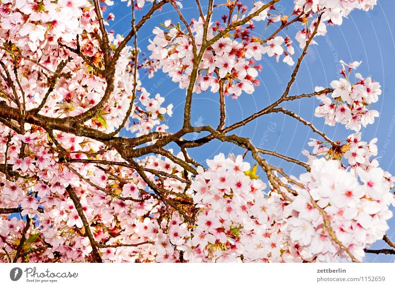 cherry Cherry Cherry blossom Blossom Blossoming Flower Spring Tree Branch Twig Sky Flash photo Copy Space Background picture Cloudless sky Sun Sunday Growth