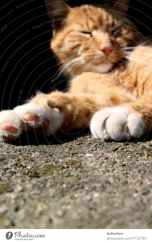 Cat Beautiful Calm Eyes Lanes & trails Lie Dream Orange Contentment To enjoy Sleep Cool (slang) Break Nose Pelt Safety (feeling of)