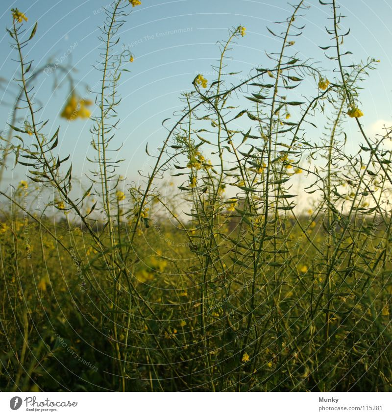 Sky Blue Green Plant Landscape Yellow Autumn Bright Field Tall Idyll Agriculture Square Canola Osnabrück district