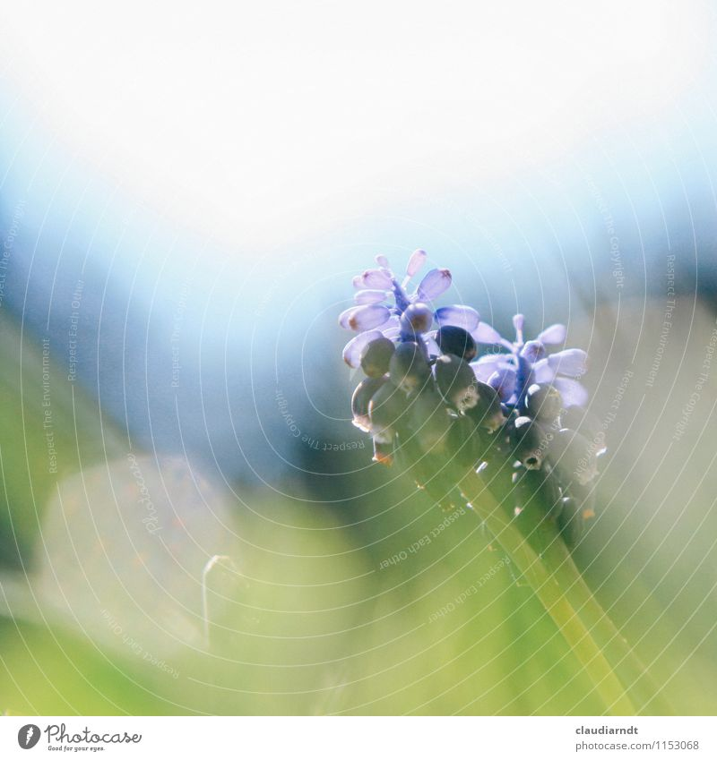 pearl flower Nature Plant Spring Beautiful weather Flower Grass Muscari Garden Blossoming Blue Green Spring flowering plant Transparent Lens flare Glare effect