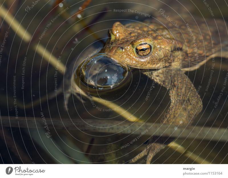 toad Nature Water Drops of water Lakeside River bank Brook Pond Habitat Animal Wild animal Frog Animal face Painted frog Frog eyes 1 Swimming & Bathing Brown
