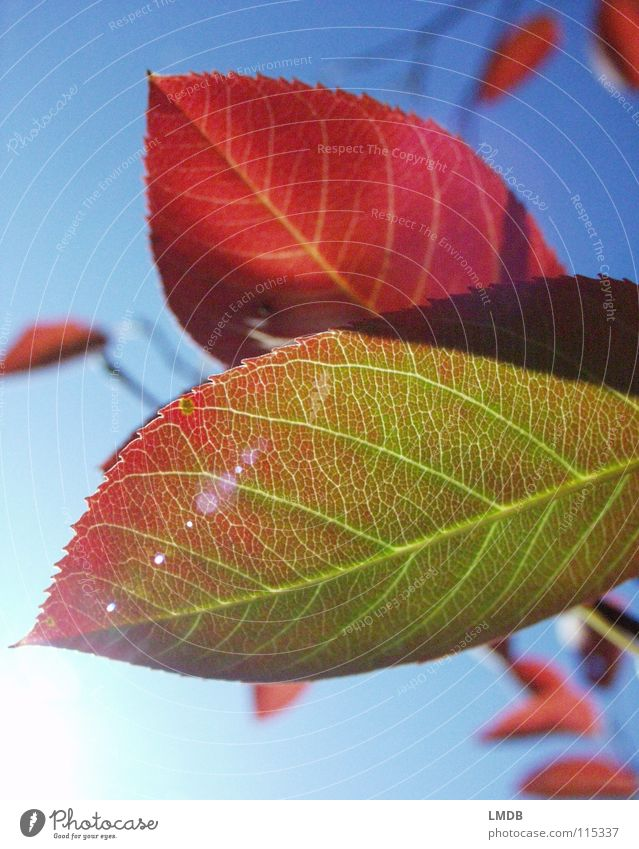 Autumn foliage 2 Leaf Tree Plant Red Green Yellow September October Seasons Light Force Transience Reflection Sky Blue To fall Lamp Colour Contrast Dyeing