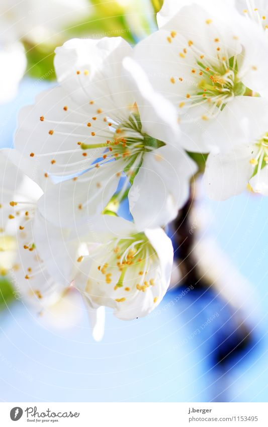 cherry-factory Nature Plant Spring Tree Leaf Blossom Agricultural crop Blossoming Fragrance Blue White Cherry blossom Cherry tree Spring colours Colour photo