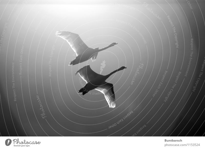 fly in pairs Nature Animal Sky Cloudless sky Beautiful weather Wild animal Bird Swan Wing 2 Pair of animals Movement Flying Attachment Black & white photo