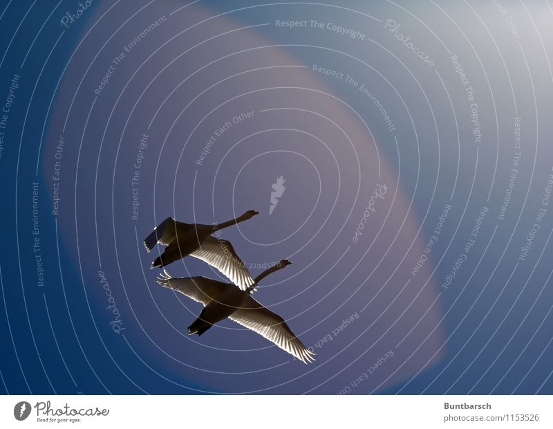 Together Nature Animal Sky Cloudless sky Sun Sunlight Beautiful weather Wild animal Bird Swan Wing 2 Pair of animals Movement Flying Esthetic Bright Attachment