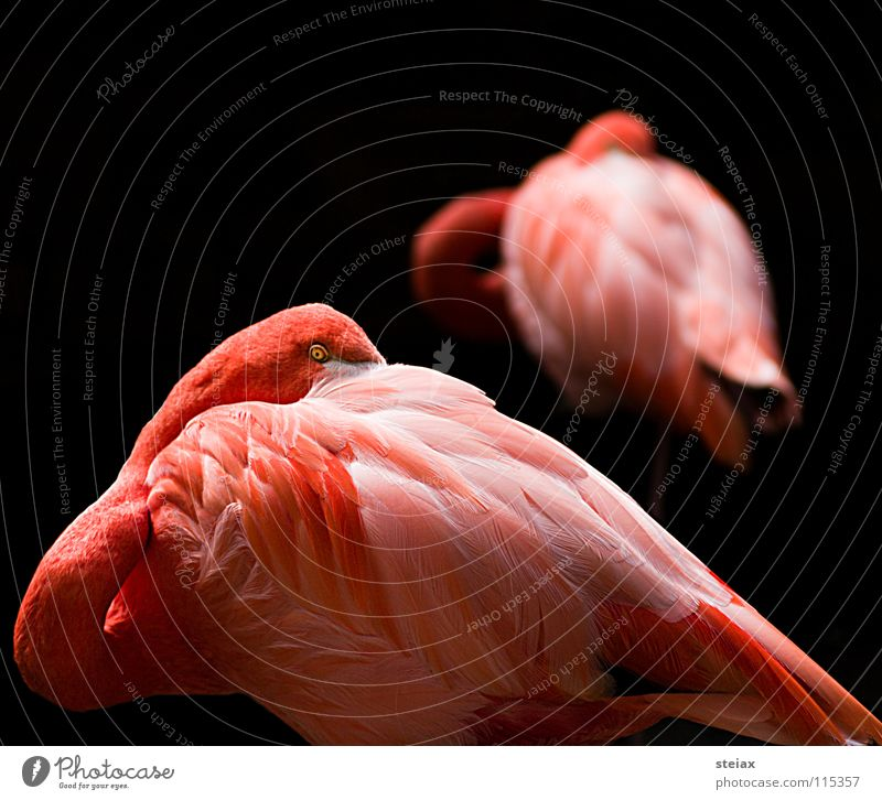 Don't look at me Bird Pink Zoo Flamingo Colour Hide Eyes