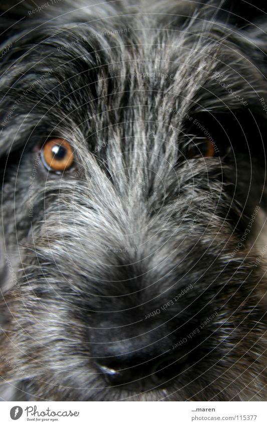 Black Animal Eyes Gray Dog Orange Wet Nose Wild animal Clarity Pelt Damp Mammal Snout Dappled