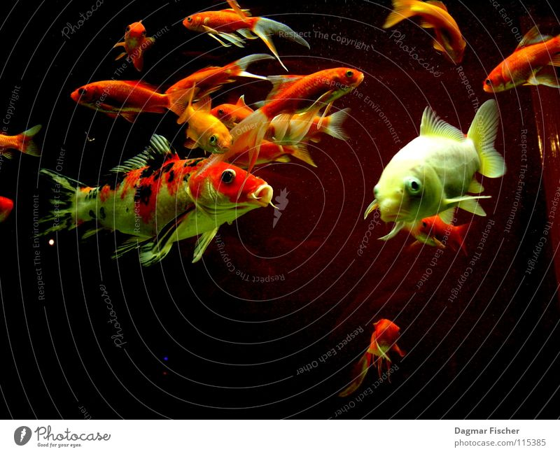 Water Red Ocean Animal Yellow Life Lake Friendship Together Orange Wet Gold Fish Multiple River Swimming & Bathing