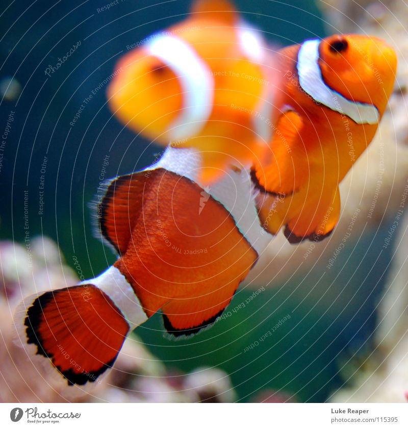 clownfish Zoo Pet Fish Aquarium 2 Animal Pair of animals White Sea water Finding Nemo Orange seawater Colour photo Underwater photo Day Motion blur
