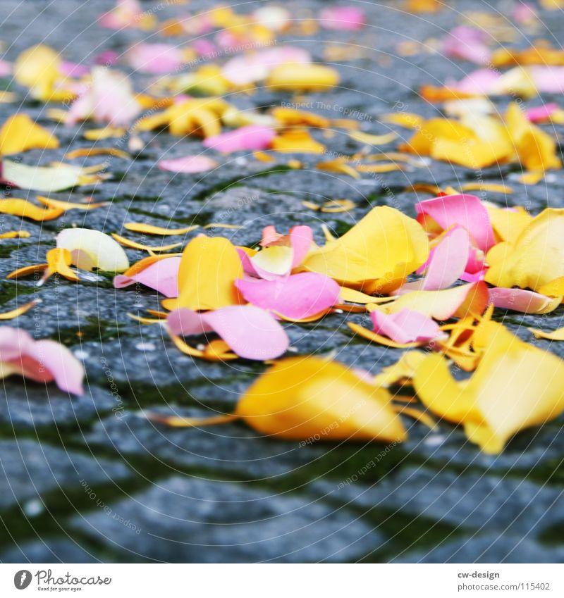 you want to buy rose? Decoration Feasts & Celebrations Autumn Rose Leaf Blossom Emotions Joie de vivre (Vitality) Sympathy Romance Tradition Cobblestones