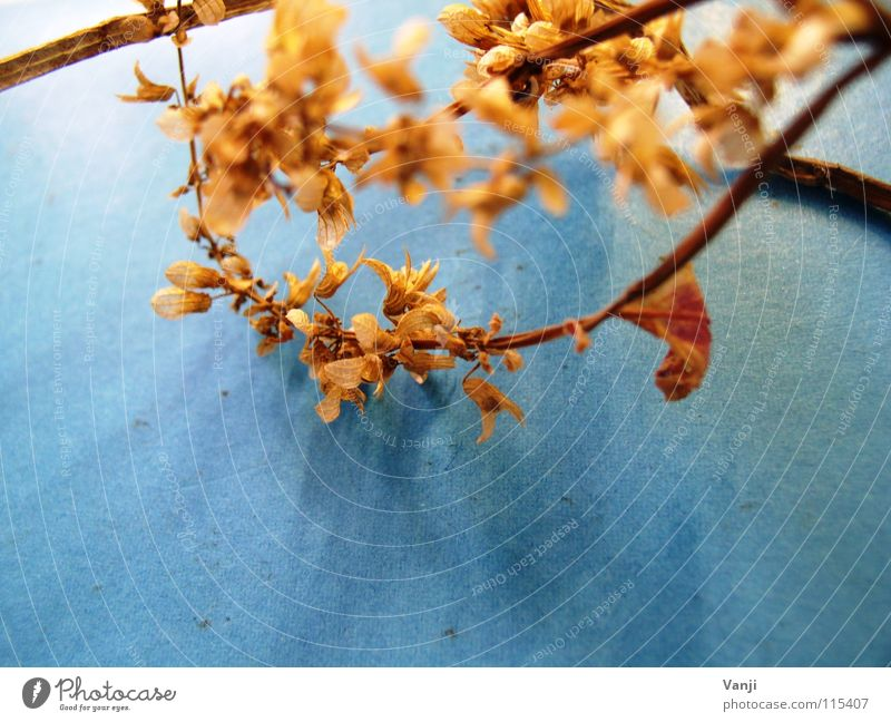 Nature Old Flower Blue Plant Leaf Autumn Blossom Delicate Stalk Decline Easy Smooth Fragile Dried Blossom leave