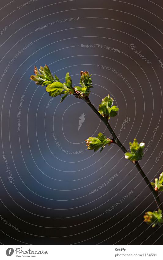 contemporary Nature Plant Spring Leaf Twig Twigs and branches Leaf bud Plantlet Forest New Brown Green Spring fever Anticipation Beginning Change Spring day