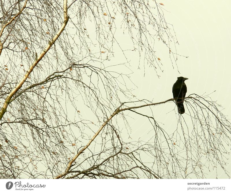 abracadabra Crow Raven birds Bird Tree Leaf Leafless Winter Autumn Crouch Crouching Room Bad weather Clouds Calm Relaxation Grief Boredom Break Dangerous