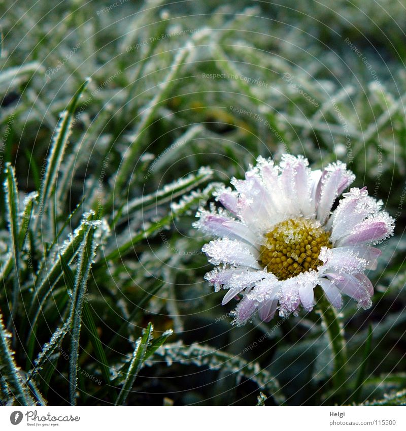 Flower Loneliness Winter Cold Grass Snow Garden Ice Blossoming Floor covering Lawn Frost Frozen Stalk Blade of grass Blossom leave