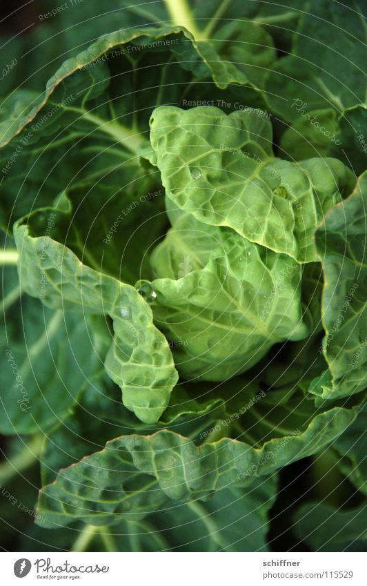 Green Plant Nutrition Vegetable Cabbage Cabbage Kale White cabbage Digestive system Savoy cabbage Ornamental cabbage