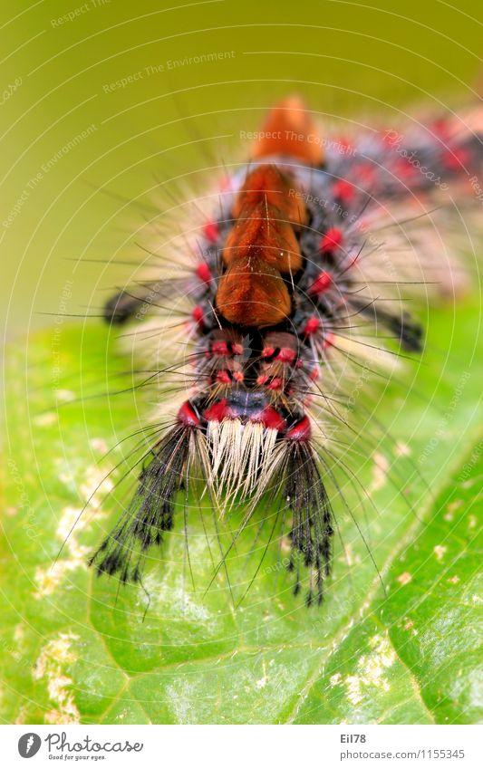 sloe brush-spinner Nature Animal Butterfly Caterpillar 1 Happiness Contentment Joie de vivre (Vitality) Spring fever Sloe Brush Caterpillar Multicoloured