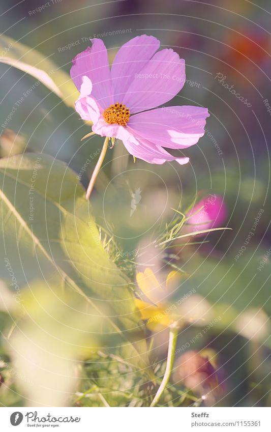 Nature Plant Green Beautiful Summer Flower Blossom Garden Moody Pink Blossoming Violet Blossom leave Summery Shaft of light Summerflower