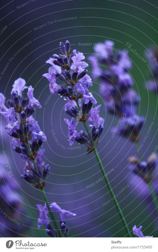 flowering lavender as a mood enhancer Lavender lavender flowers lavender blossom Summer bloom Romance colour mood aromatic plant Fragrance June July heyday
