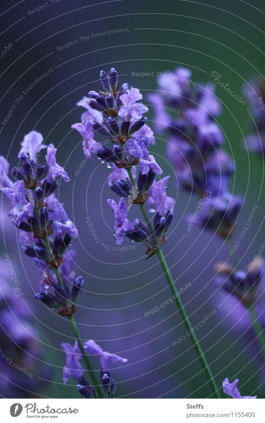 Nature Plant Blue Beautiful Summer Colour Flower Calm Blossom Garden Moody Blossoming Romance Violet Fragrance Lavender