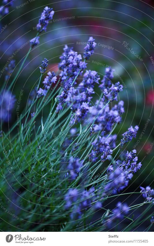 Lavender blooms in the summer garden flowering lavender Lavender flower lavender scent lavender blossom lavender flowers medicinal plant Medicinal plant