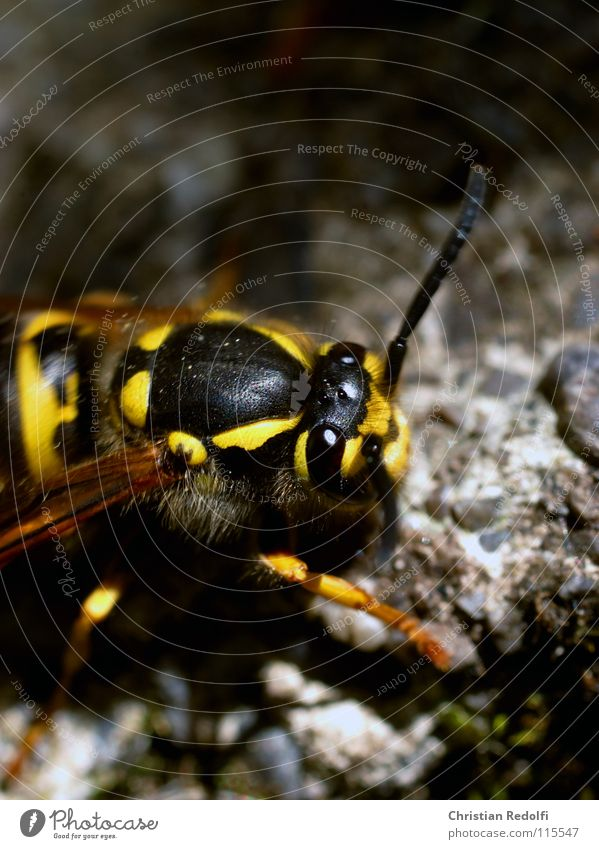 Black Animal Yellow Garden Stone Hair and hairstyles Wing Insect Bee Painting and drawing (object) Spine Minerals Wasps Hornet