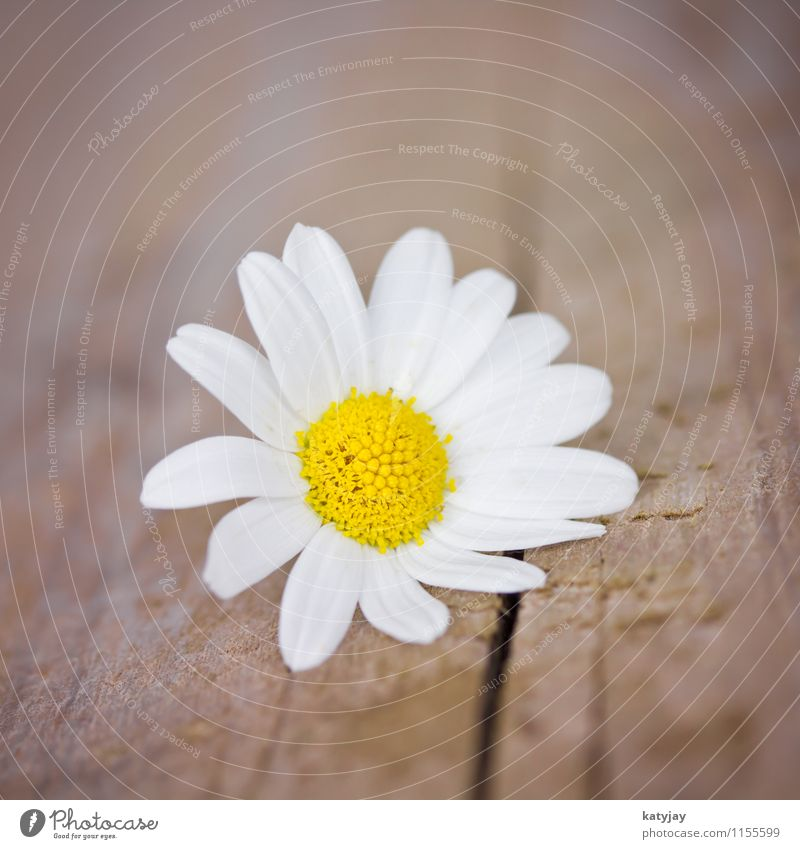 Nature White Summer Flower Joy Love Blossom Spring Fresh Birthday Happiness Blossoming Gift Seasons Bouquet Daisy