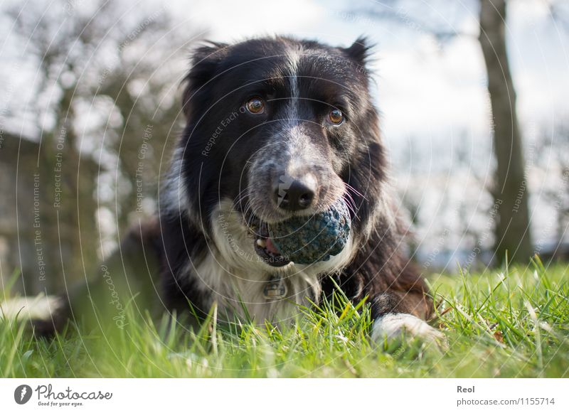 Full snout Animal Grass Meadow Pet Dog Retrieve Collie border collie Herding dog 1 Ball Cute Blue Safety (feeling of) Love of animals Serene Loyalty Smooth